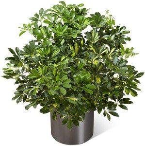 1-3_Ft._Plant