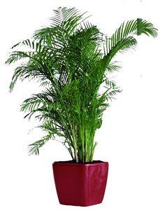 5-7_Ft._Plant